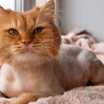 lion cut cat