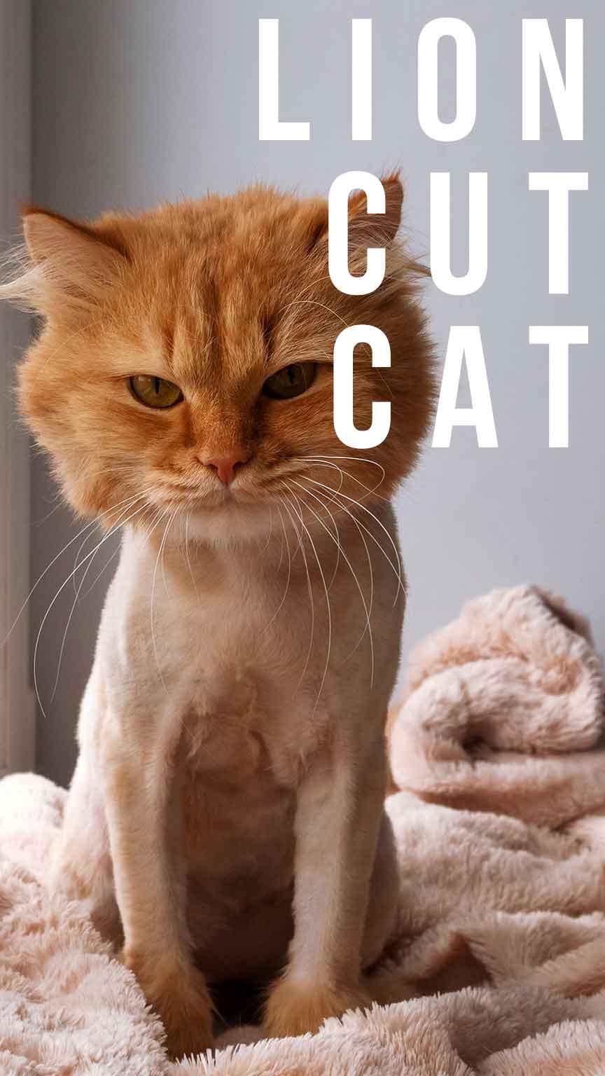 lion cut cat