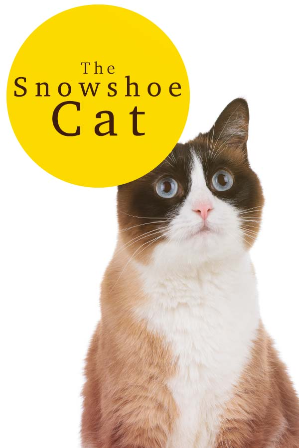 snowshoe kitten