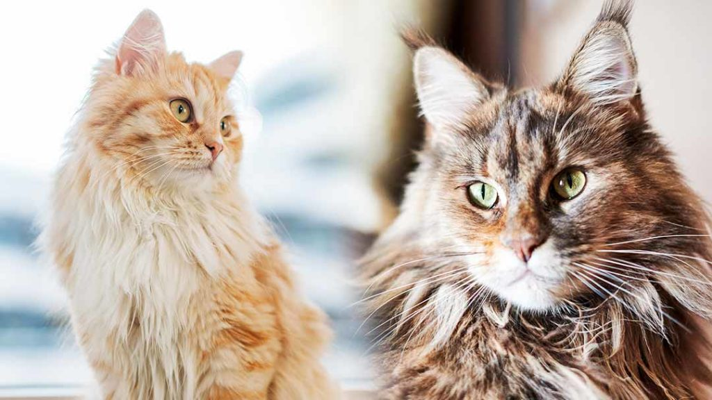 domestic longhair vs maine coon