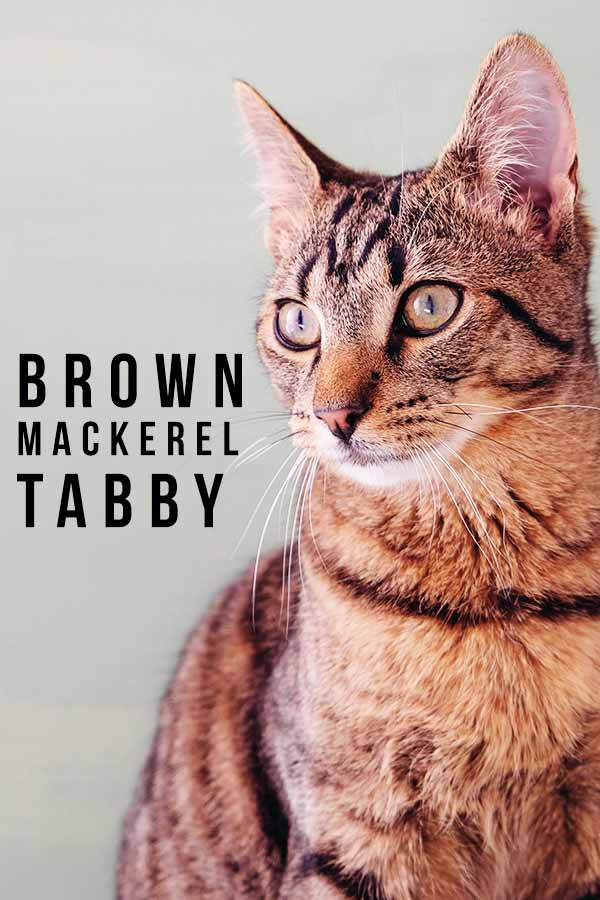 brown mackerel tabby