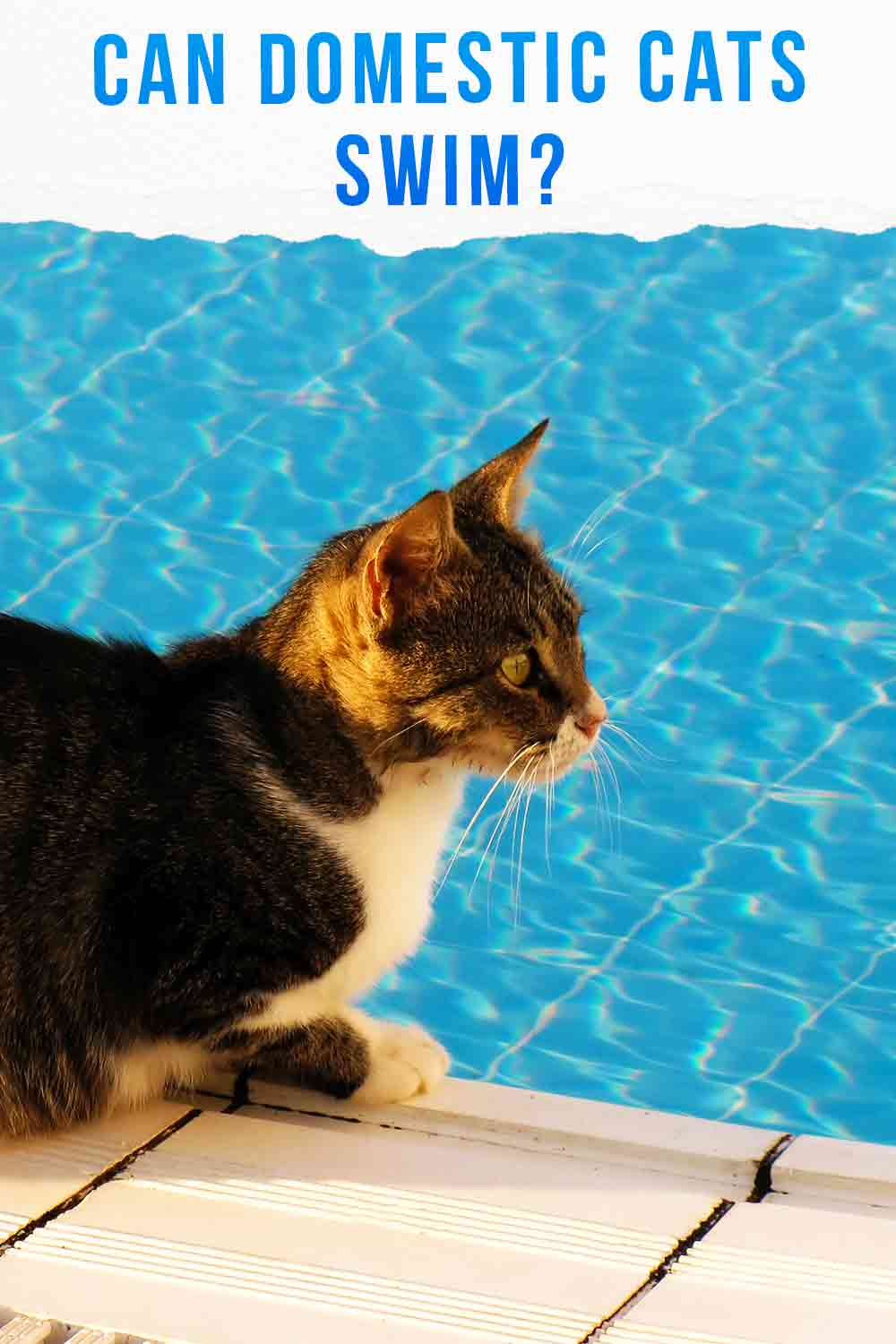 Can domestic cats swim?