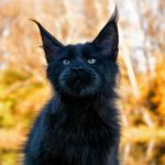 black maine coon cat