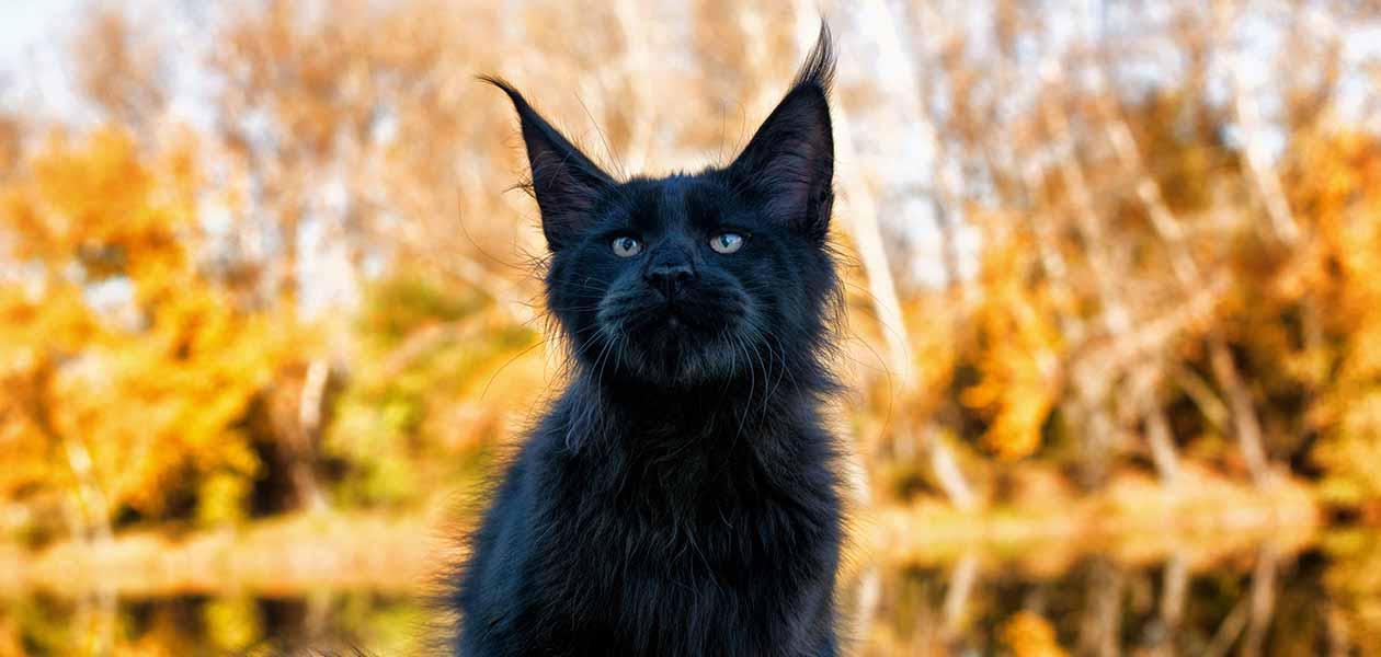 black maine coon cat