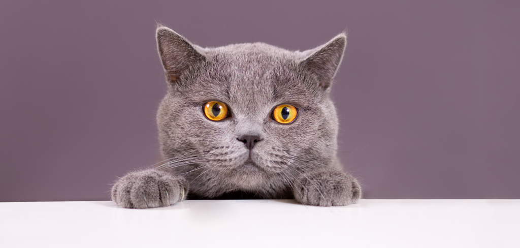 gray cat breeds