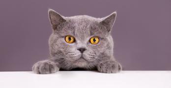 gray cat breeds
