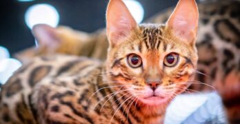 leopard house cat