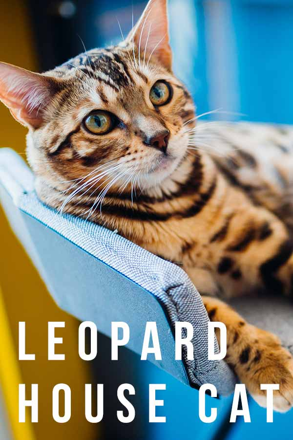 leopard house cat