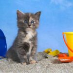blue tortoiseshell cat