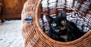 black tortoiseshell cat