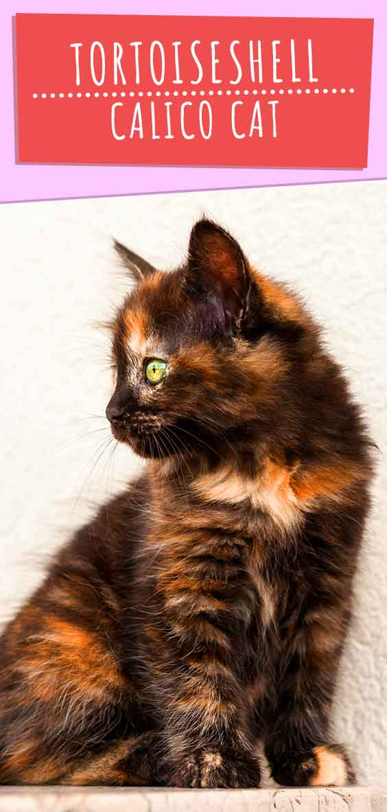 tortoiseshell calico cat