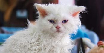 poodle cat