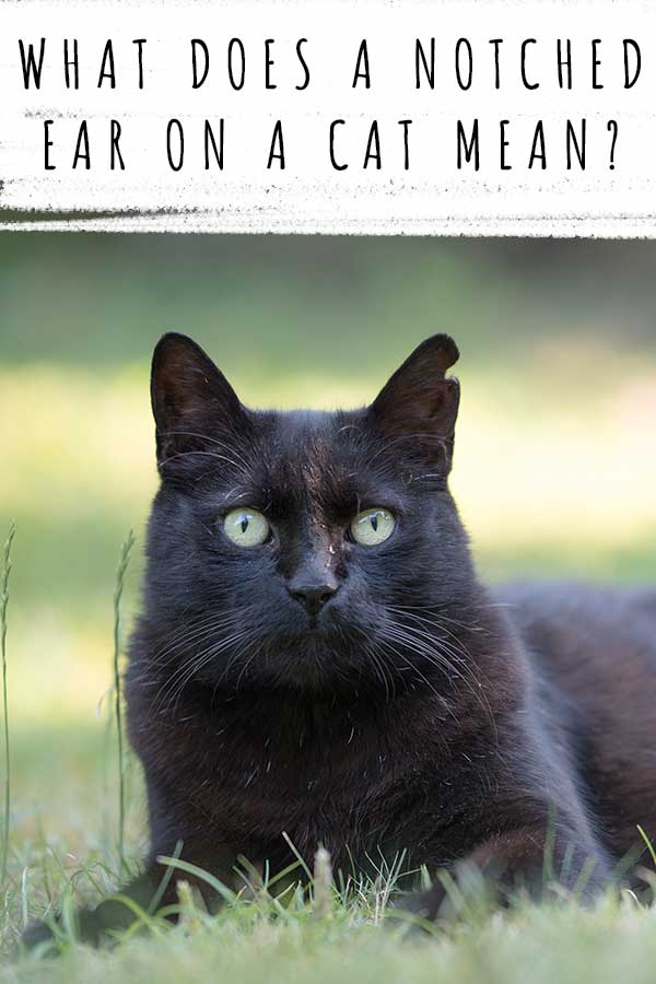 what does a notched ear on a cat mean