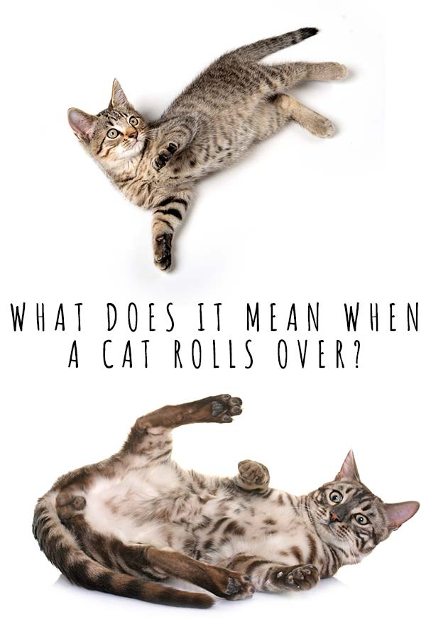 what does it mean when a cat rolls over
