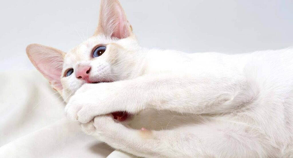 flamepoint siamese