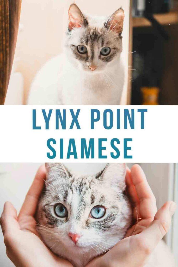 lynx point siamese
