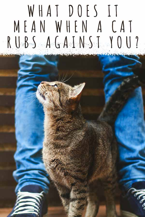 what does it mean when a cat rubs against you
