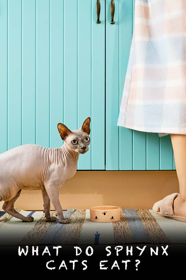 what do sphynx cats eat