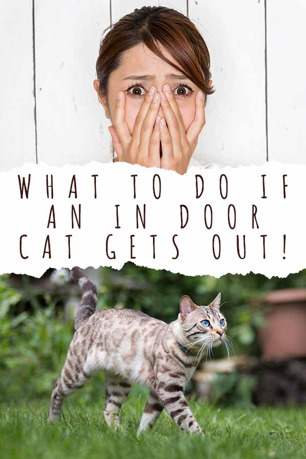 what to do if an indoor cat gets out