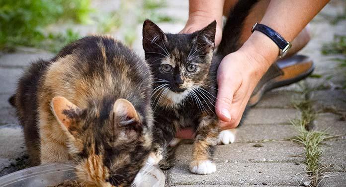 brindle cat