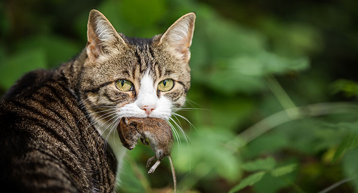 what do cats eat in the wild