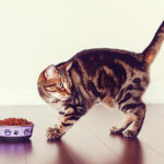 what do bengal cats eat