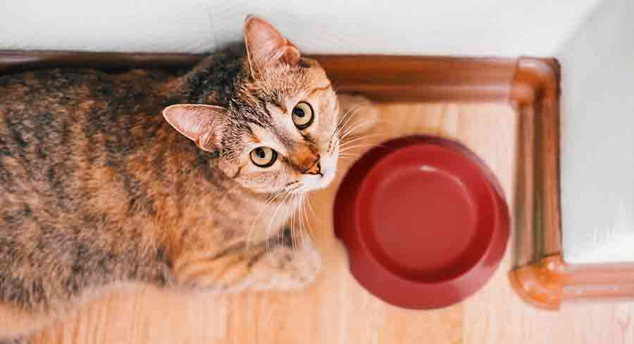 how long can a cat survive without food