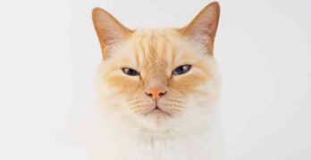 cream point cat